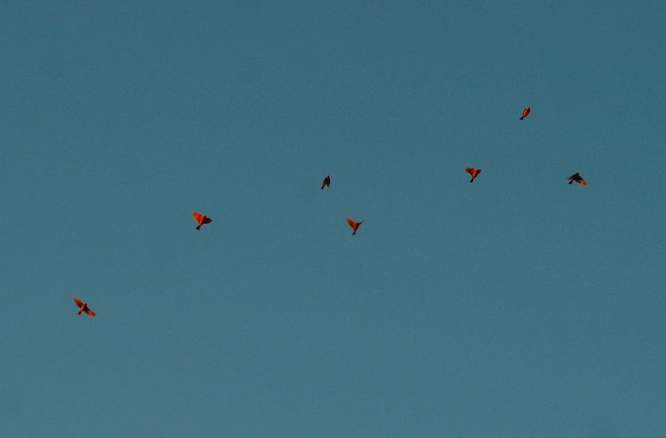 Mason_Shreve-seven_red_birds
