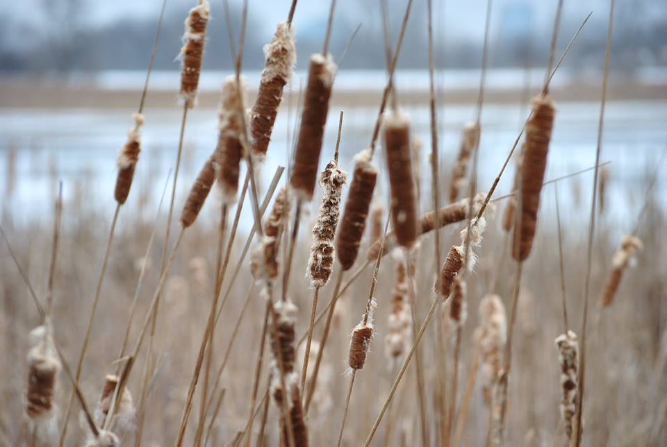 """Cattails"" (c) Heather M. Swanson"