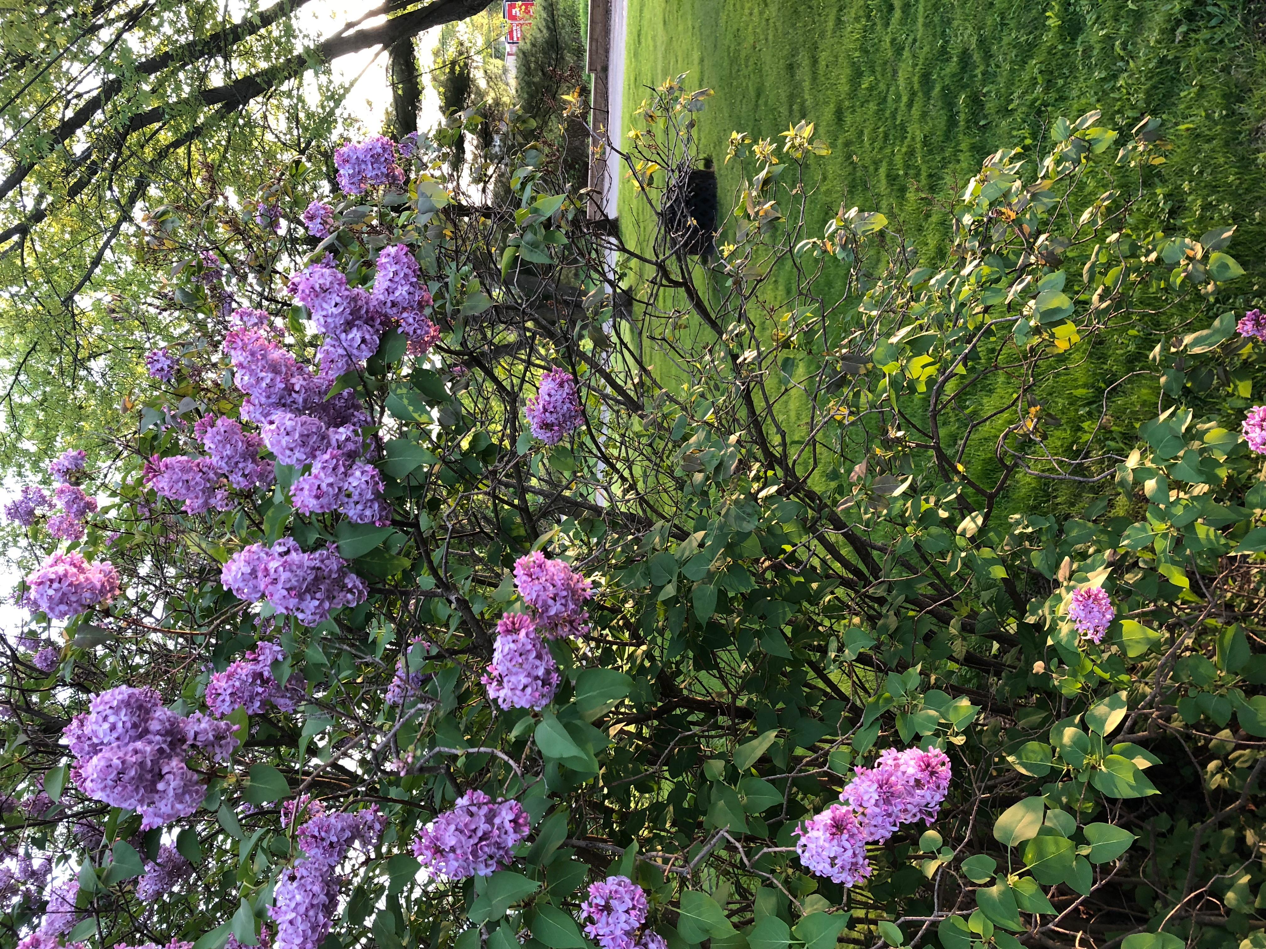 """Lilacs"" (c) Madeline Reding"
