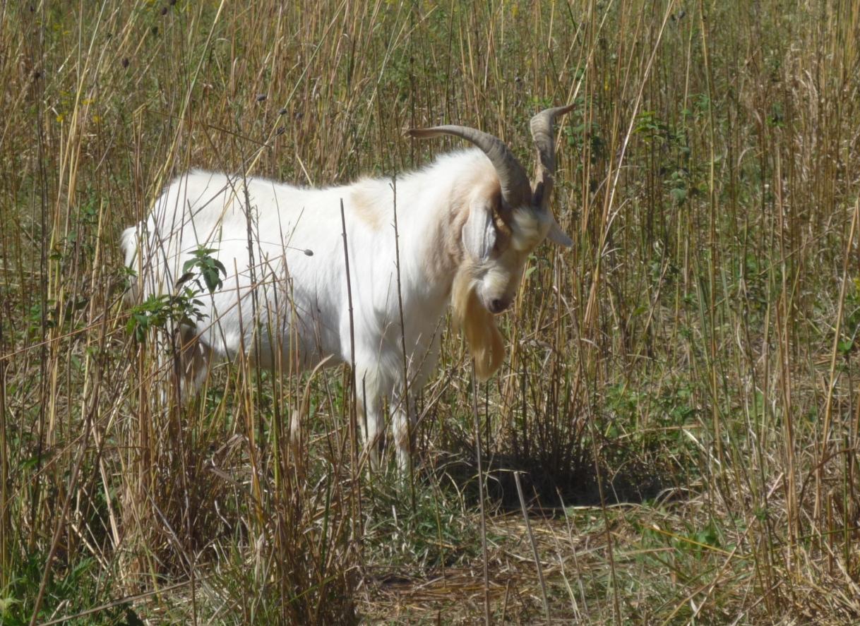 """Goat Staring into a Hole"" (c) Joanna Key"